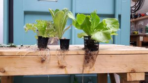 root systems, vertical growing, net pots
